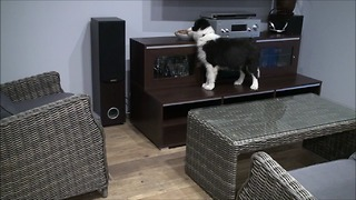 Border Collie puppy is nuts about nuts