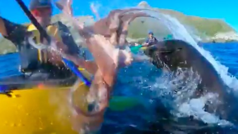 Seal Slaps Kayaker's Face With Octopus Off New Zealand