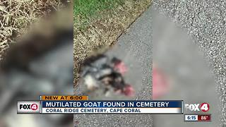 Mutilated goat found in cemetery - Video