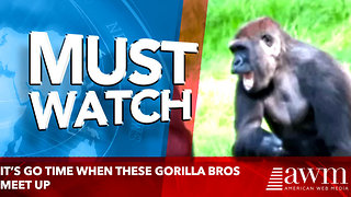 It's Go Time When these Gorilla Bros Meet Up - Video