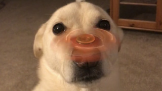 Dog flawlessly balances Fidget Spinner on his nose