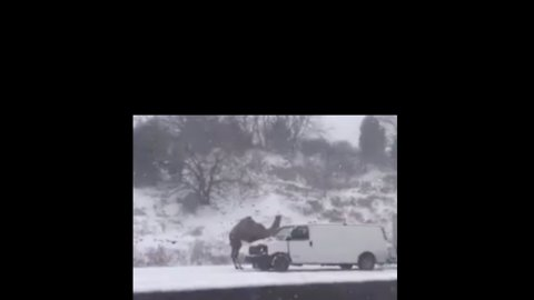 Not Quite Santa's Reindeer: Camel Spotted on Pennsylvania Highway in Snowstorm