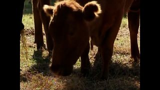 Dentist Saves Cows From Slaughterhouse - Video