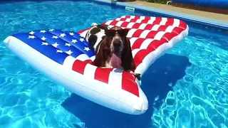 Basset Hound Celebrates Forth of July in Style - Video