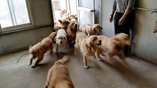 STAMPEDE! HUGE GROUP OF GOLDEN RETRIEVERS RUSH THROUGH DOOR AFTER BEING RESCUED FROM MEAT MARKETS