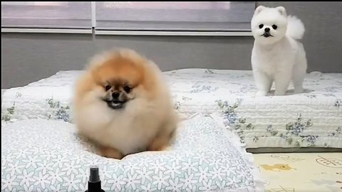 Dancing Pomeranian adorably bounces to the beat