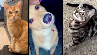 "Compilation of pets reacting to ""talking"" cat sounds"
