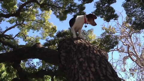 Beagle activates cat mode, climbs tree with ease