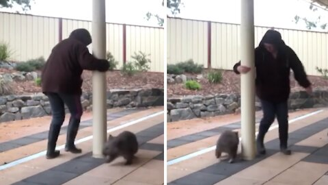 Wombat plays ring-around-the-rosie with his caretaker