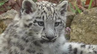 Too cute! Snow leopard cubs revealed at UK zoo - Video
