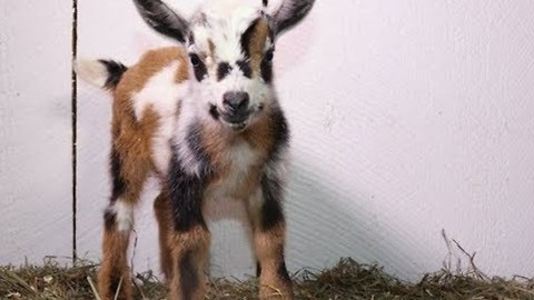 Mother Goat Gives Birth to Beautiful Triplets