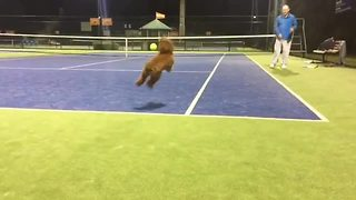 Poodle plays fectch on tennis court