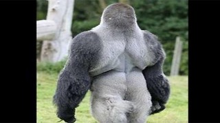 This Gorilla is Causing Quite a Stir. When He Turns Around, You'll See Why! - Video
