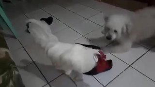 Puppy Can't Make Up His Mind About His Friend Chicken - Video