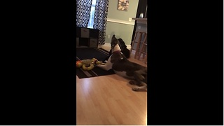 Mamma Great Dane won't share toy with her puppy - Video