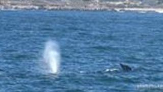 Whale Watching Tour Encounter Migrating Gray Whales in Monterey Bay - Video