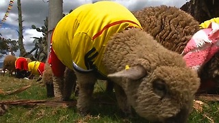 Sheep World Cup - Video