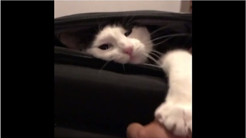 Cat claims empty suitcases, refuses to let owner use it