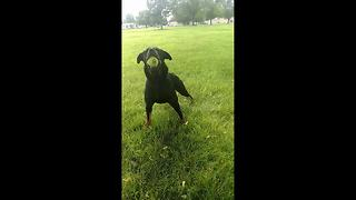 Dog ecstatic to play again after recovering from broken back