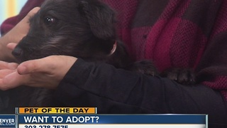 Pet of the day for December 18th- Ella the Lab mix - Video