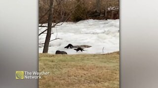 Pair of playful otters slide down frozen river