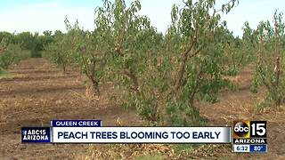 Peach trees are blooming too early because of unusually warm temperatures across the Valley - Video