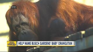 Help name Busch Gardens' baby orangutan through a Facebook poll - Video