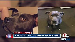 Pit bull shot by masked robbers in south side Indianapolis home invasion - Video