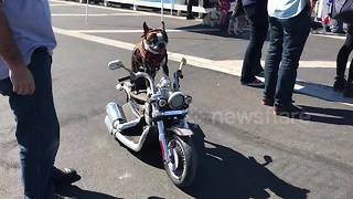 Dog rides motorbike on San Diego road