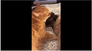 Cat siblings share tender moment together - Video