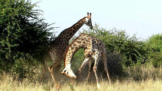 Fighting Giraffes - Amazing Fighting Style and Technique  - Video