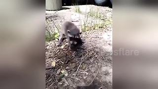 Abandoned baby raccoon gets snatched by dog - Video
