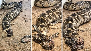 Mother puff adder gives live birth to baby snakes  - Video