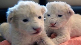 Twin White Lion Cubs Move in With Zookeeper - Video