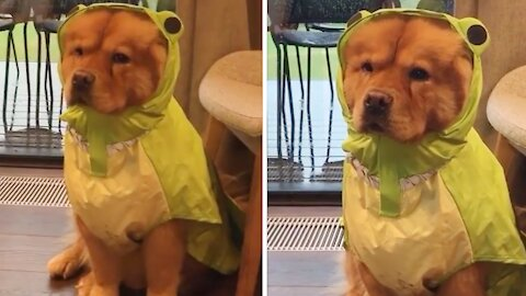 Chow puppy not too thrilled about her new raincoat