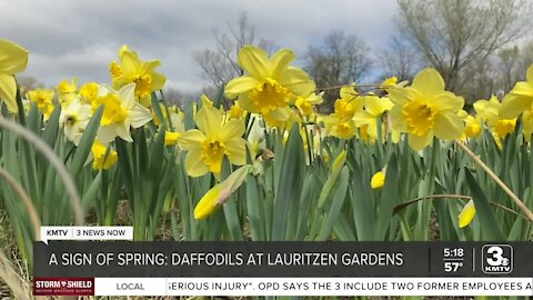 More than 350k daffodils in bloom at Lauritzen Gardens
