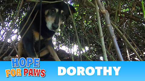 Hope For Paws: Dorothy a Senior Dog Bites Her Rescuer But Then Makes an Incredible Transformation.