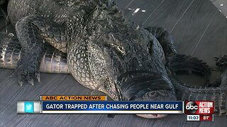 Gator trapped after chasing people near Gulf