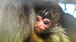 Endangered Spider Monkey Welcomes New Addition to Family at Melbourne Zoo - Video
