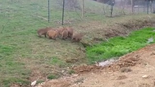 Strange Noise Startles Group of Capybaras
