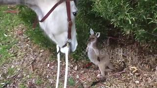 Kind Horse Meets Curious Baby Kangaroo