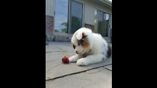 Aussie puppy takes on dreaded strawberry