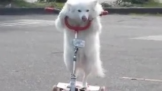 Dog casually rides 3-wheeled scooter - Video