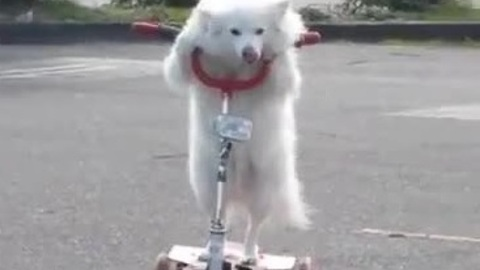 Dog casually rides 3-wheeled scooter