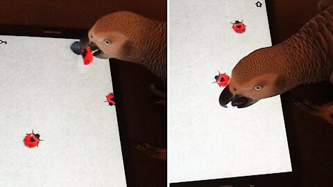 Gamer parrot tries to catch ladybugs on tablet