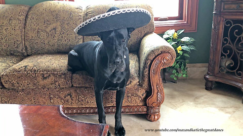 Funny Great Danes Dress Up for Cinco De Mayo