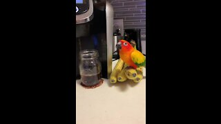 Parrot knows it's banana time when his owner makes morning coffee