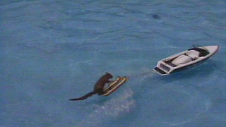 Twiggy the Water-Skiing Squirrel - Video