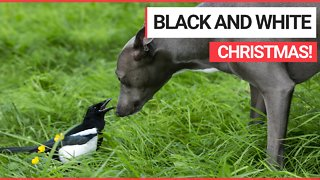 A domesticated magpie is already in the festive spirit - and has learned to squawk 'Merry Christmas'