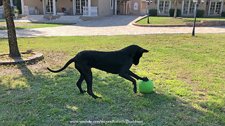 Great Danes Love To Play Jolly Ball Soccer